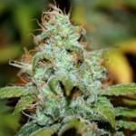 legalizemeyo