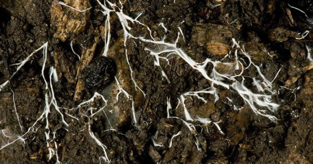 Branching threads of fungus mycelium in organic soil