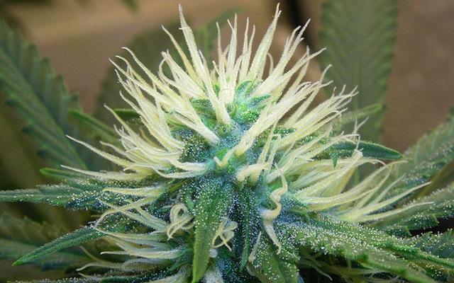 WIKI - Cannabis5