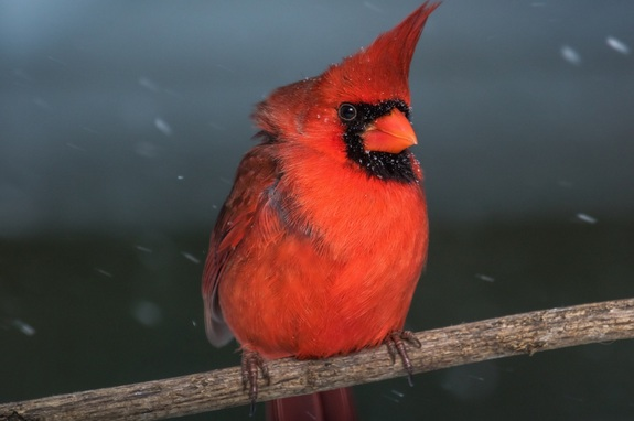 A.J. Wells captured this shot of a male Northern Cardinal perched on a branch during the winter storm dubbed Jonas on Jan. 22 in northern Lexington, Kentucky.