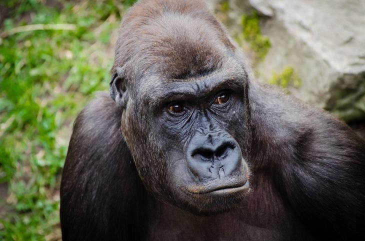 gorilla-1022652_960_720