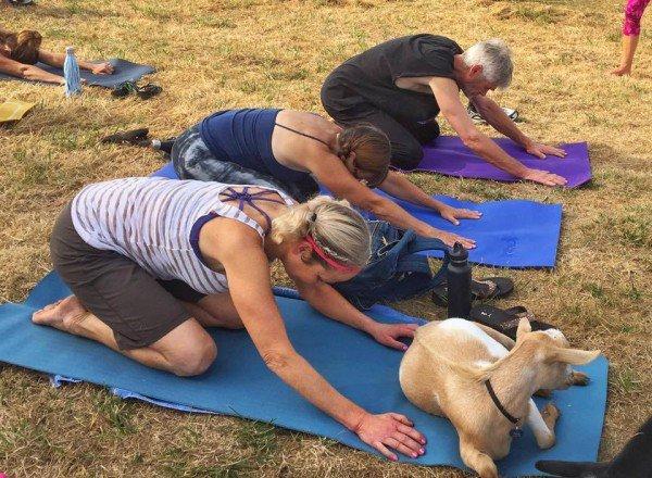 goat-yoga3