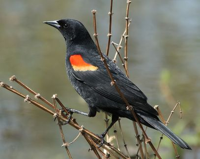 red-winged-blackbird-bird