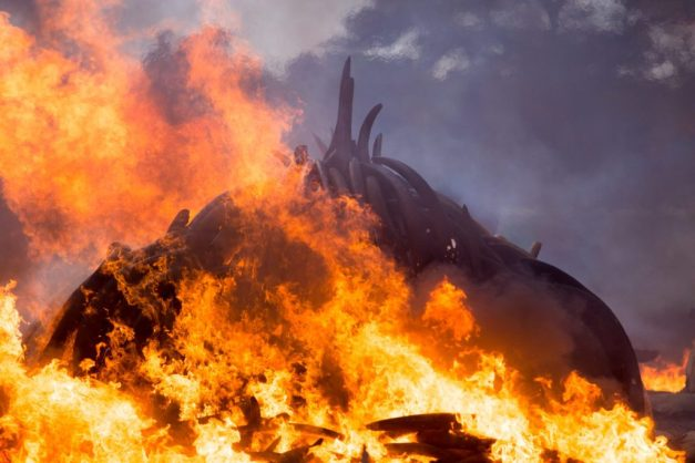 105 tons of ivory and 1 ton of rhino horn burn in Nairobi National Park on 30th April 2016. They were set ablaze by President Uhuru Kenyatta in the largest ivory burn in hisory.