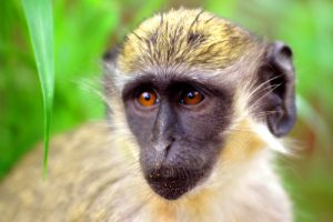 vaccine animal cells african green monkey