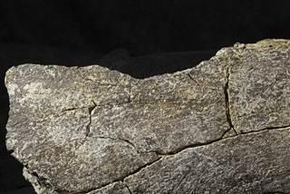 Image: mastodon bone