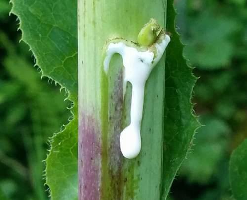 opium-lettuce