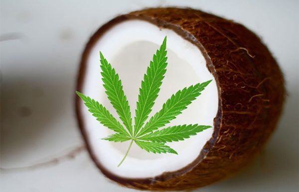 Marijuana coconut oil