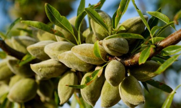 foodsgrow-almond-tree