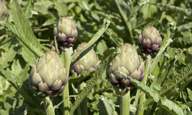 foodsgrow-artichoke