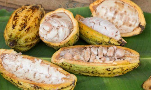 foodsgrow-cacao-pods