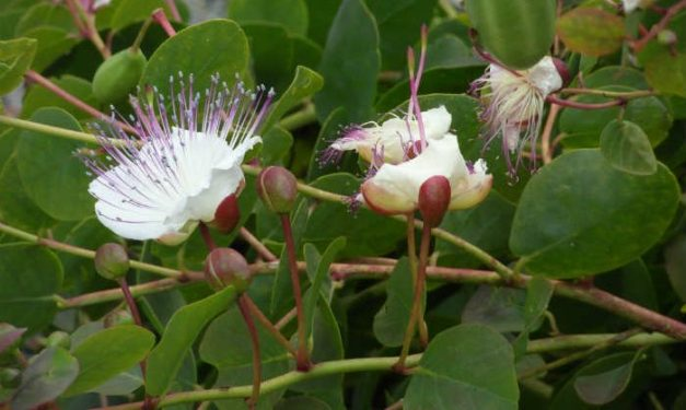 foodsgrow-caper-plant