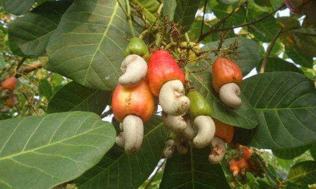 foodsgrow-cashews