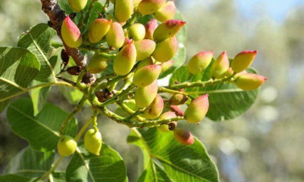 foodsgrow-pistachios