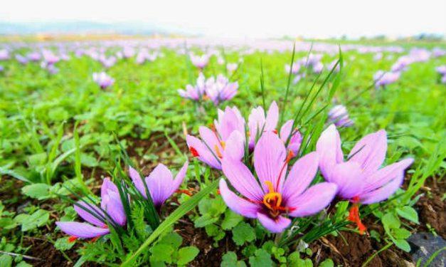 foodsgrow-saffron
