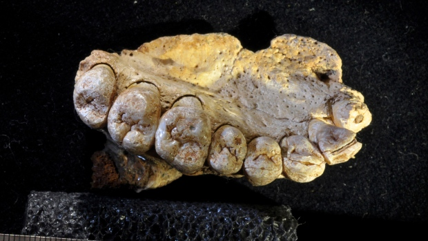 This undated photo provided by researcher Gerhard Weber shows a portion of the upper left jaw and teeth from the Misliya-1 fossil. Researchers found the jawbone in an Israeli cave, indicating that modern humans left Africa as much as 100,000 years earlier than previously thought.