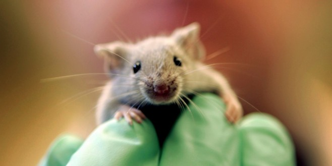 Cannabis Testing on Mice (AP Photo/Robert F. Bukaty)