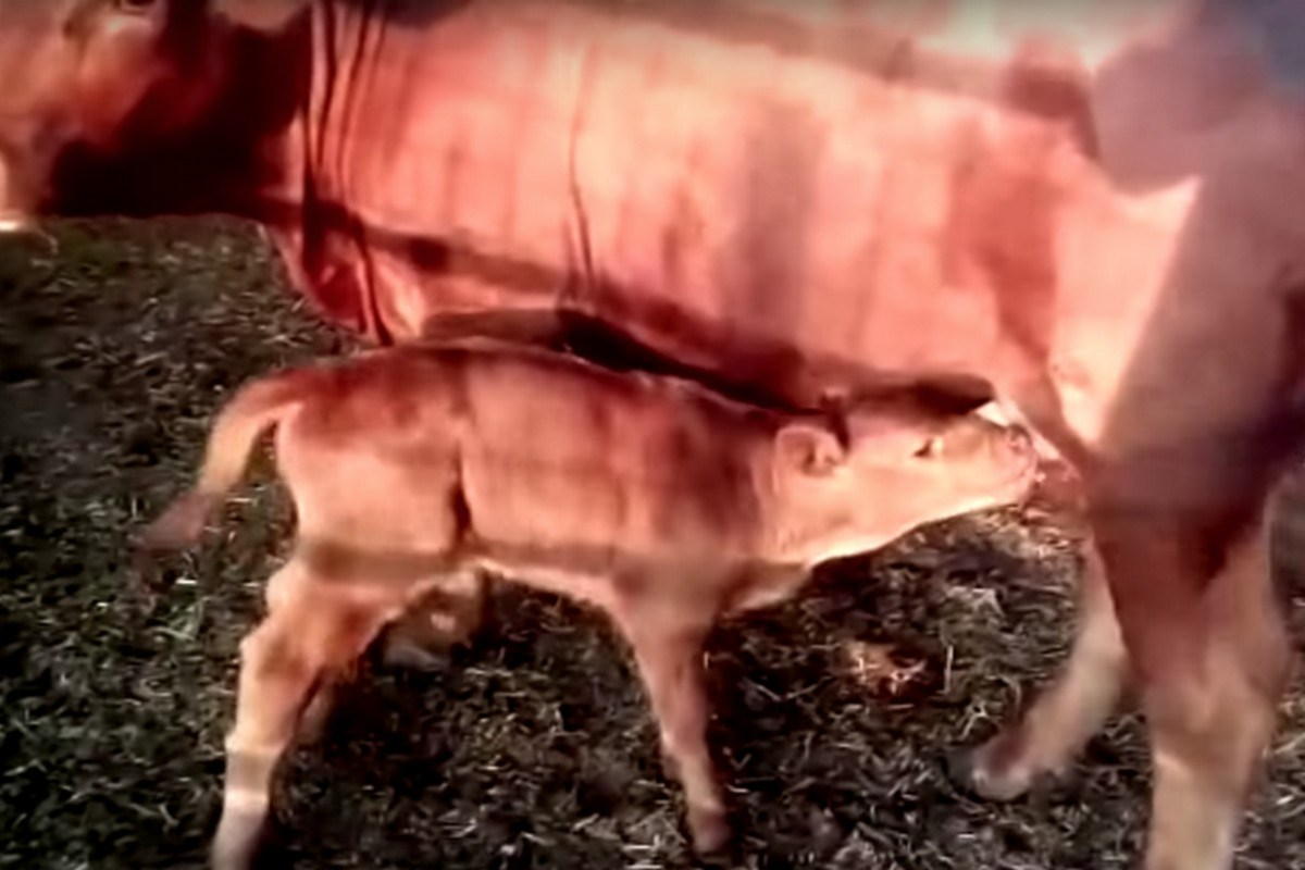 The birth of a red calf in Israel has led to an Israeli Jewish fundamentalist group to say the end of times prophecy ushering Armageddon has been fulfilled
