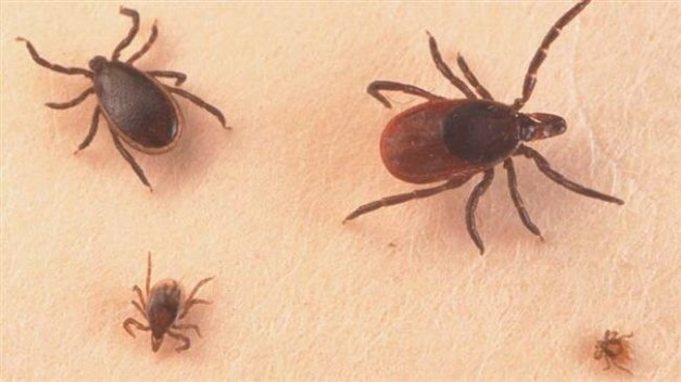 Adult male, female, larva and nymph ticks (clockwise) can spread disease. (Getty Images )